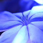 This is a blue flower