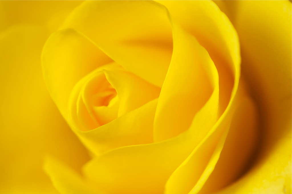 This is a yellow rose